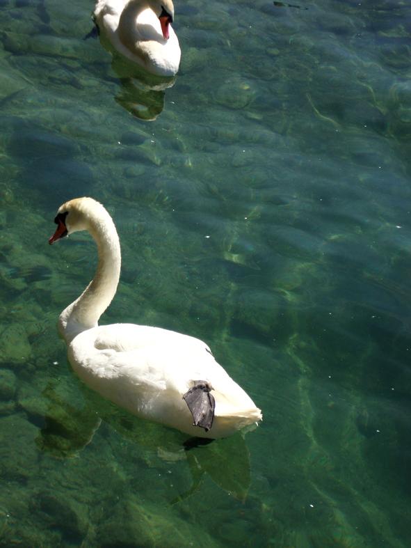 Cisnes do Rio Limmat