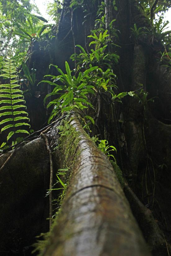 Acho que é uma figueira-brava. A árvore é enorme e suas raízes são longas e igualmente grandes.