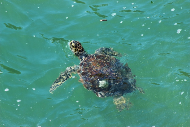 Prometido e cumprido. Em Ubatuba tem muitas tartarugas. Mas ao contrário do passo lento em terra, na água elas são bem ágeis. Uma piscada e você perde.