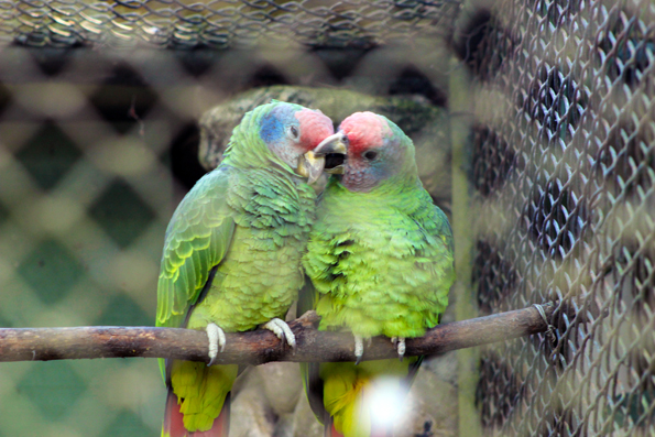 arara-casal-zoologico