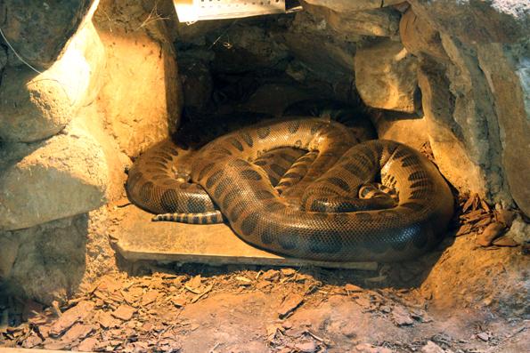 cobra-zoologico