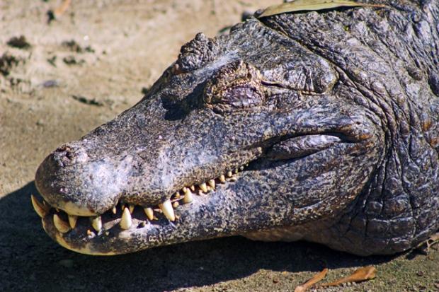 crocodilo-zoologico
