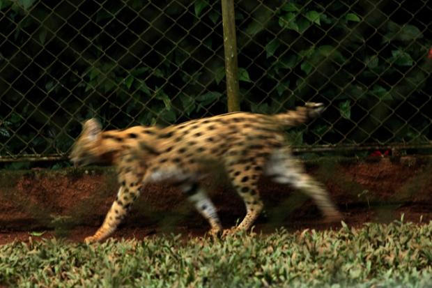 gato-do-mato zoologico