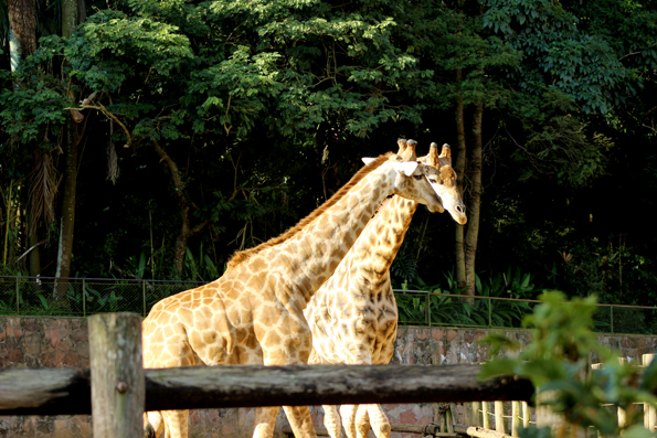 girafa-zoologico