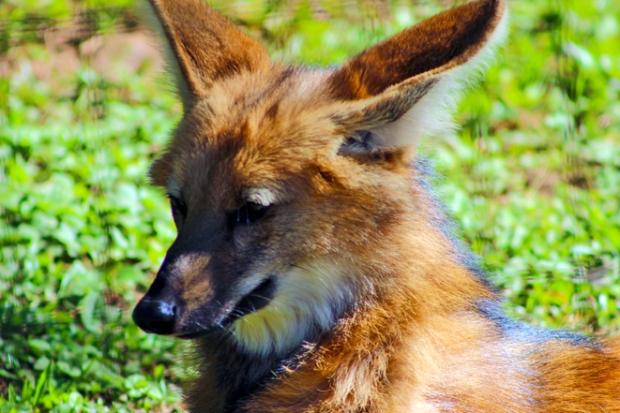 lobo-guara-zoologico