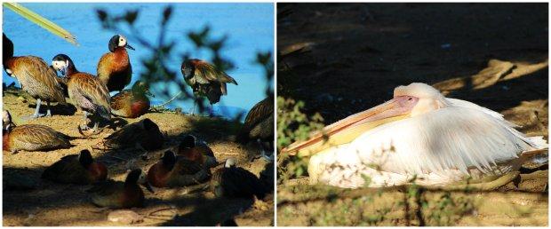 mandarim pelicano zoologico