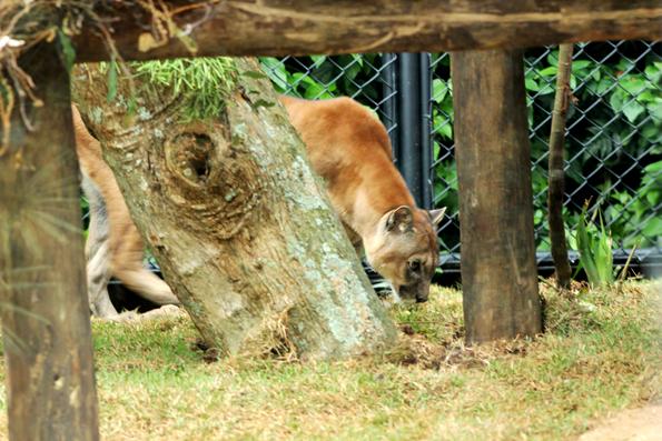puma-zoologico