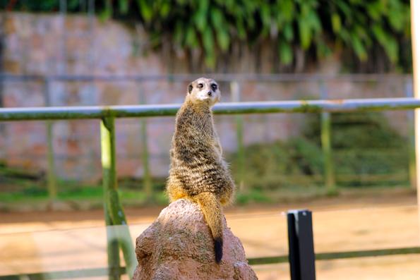 suricato-zoologico