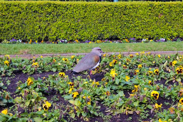 quero-quero-Jardim-Botanico-Curitiba