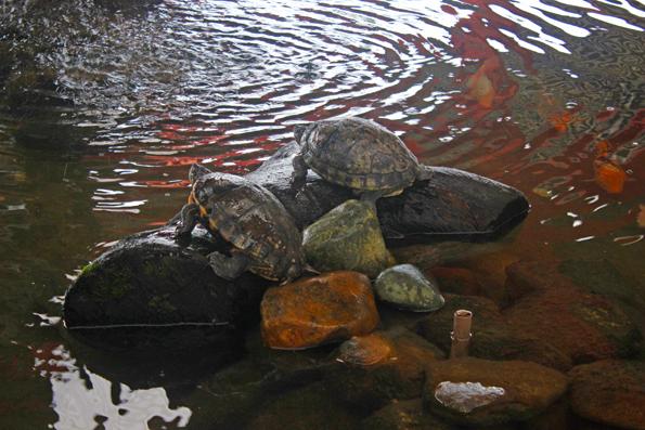 tartarugas-rodoviaria-guaruva