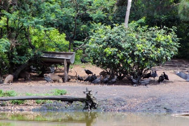 macaco-capivara-urubu-parque-ecologico-tiete-a-bussola-quebrada