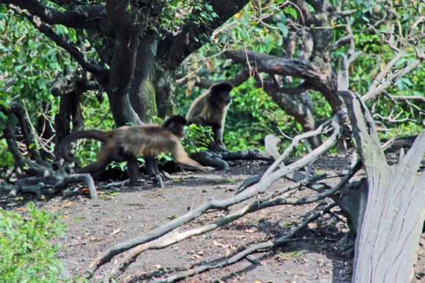macacos-parque-ecologico-tiete-a-bussola-quebrada