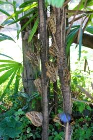 Árvore de borboletas Olho de Coruja.