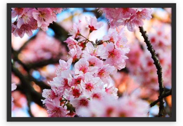 cherry-blossom-poster-a-bussola-quebrada