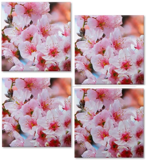 cherry-blossons-a-bussola-quebrada