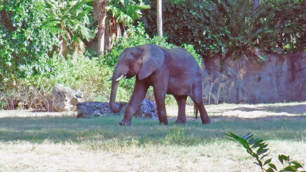 elefante-animal-kingdom-a-bussola-quebrada