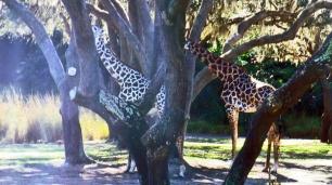 Como girafas, elefantes, rinocerontes...