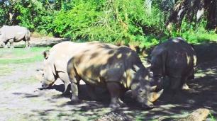 Uma grande população de animais de grande porte vive no Animal Kingdom