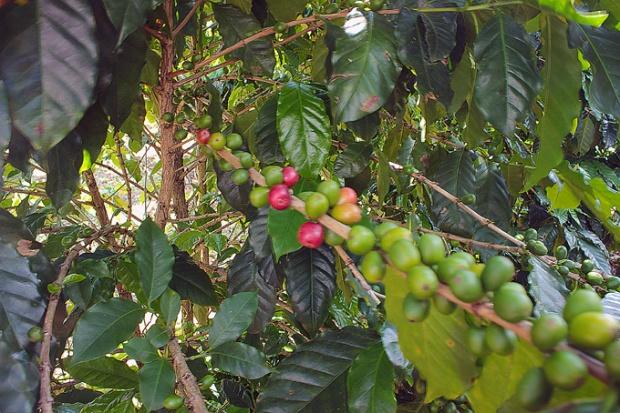 Grãos de café ficando vermelhos. A colheita costume ser no outono, de março a maio.