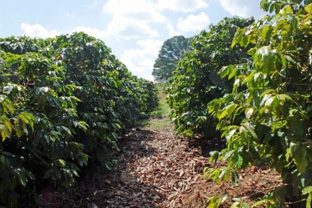 Os pés de café da variedade arábica, mais comum no Brasil.