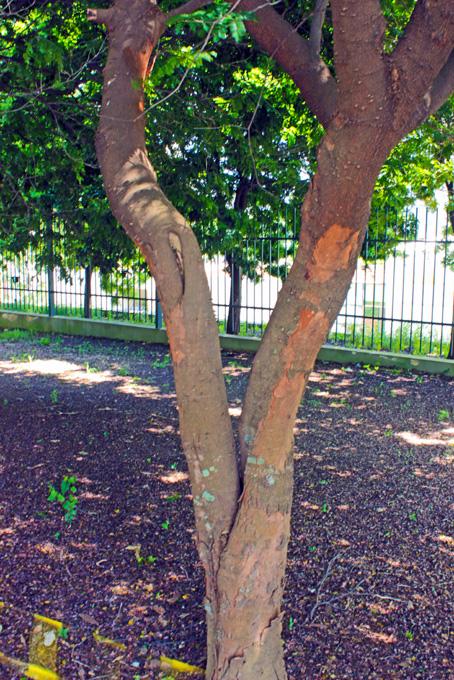 Exemplar de árvore de Pau Brasil no cafezal do Instituto Biológico