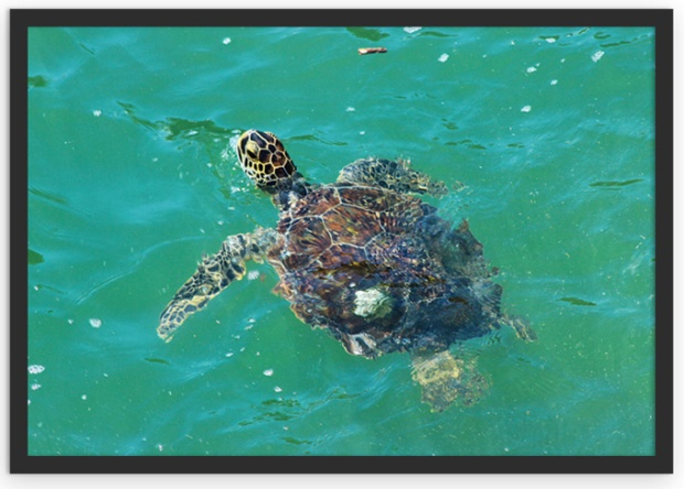 A tartaruga marinha de Ubatuba.