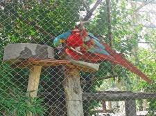 Arara vermelha, grande e rara.