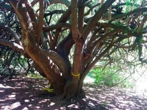 Uma das árvores mais antigas.