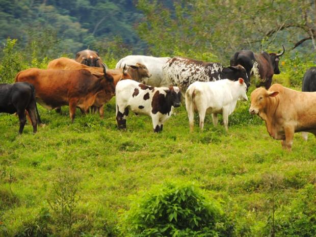 Bois, vacas, búfalos.