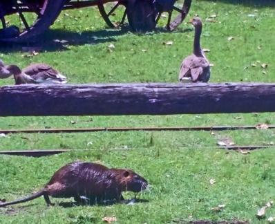 Capivaras e aves do cerrado ou mangue vivendo juntas. Mesmo ecossistema.