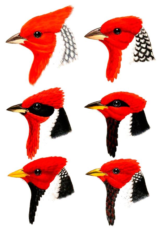 As variedades do cardeal de cabeça vermelha.