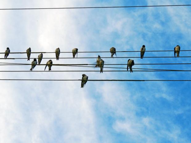 Ao final da tarde, revoadas de andorinhas se empoleiram nos fios de alta tensão.
