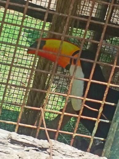 Tucanos da Amazônia