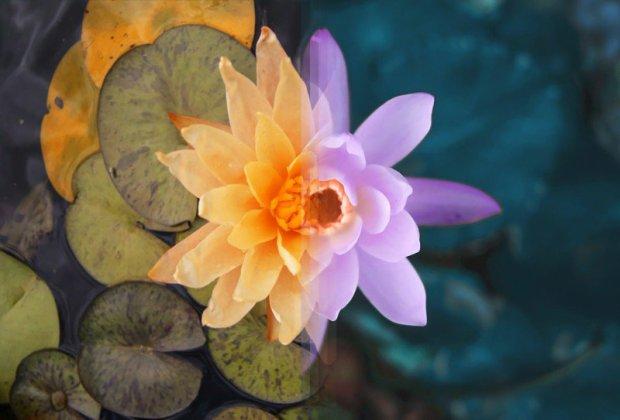 Uma flor em Sidney, Austrália e uma flor Bali, na Indonésia.