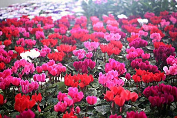 Prepare-se para ver muitas flores em Holambra.