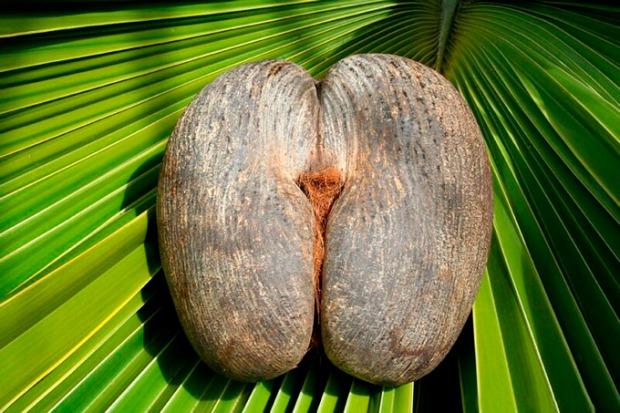 A exótica fruta coco-do-mar.